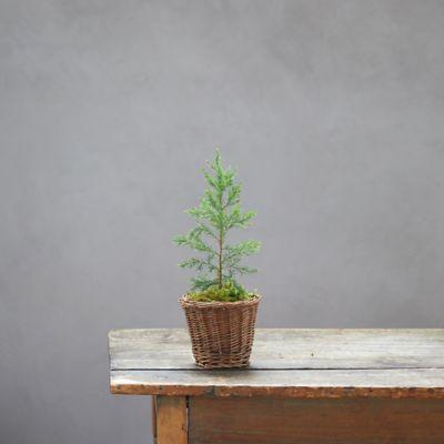 Evergreen Sapling, Woven Basket