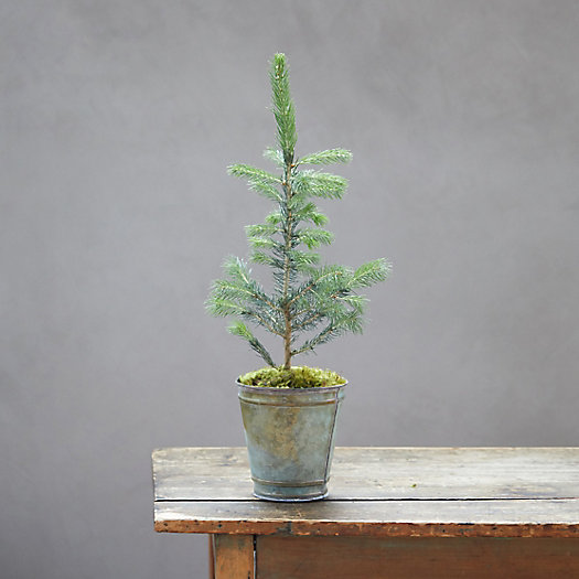 View larger image of Evergreen Sapling, Double Rim Metal Pot