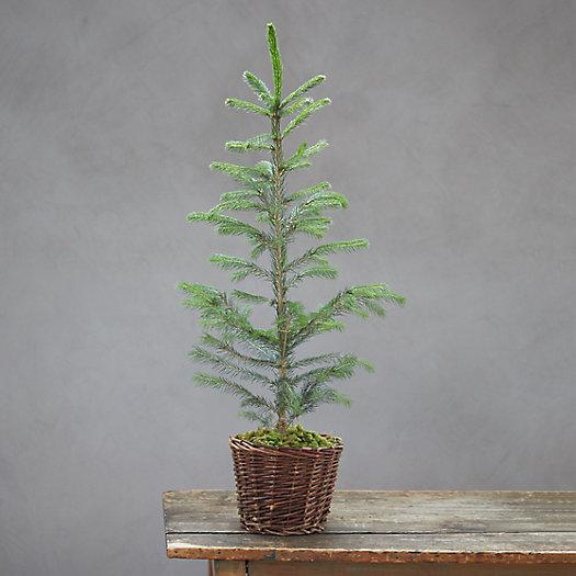 View larger image of Evergreen Sapling, Woven Pot
