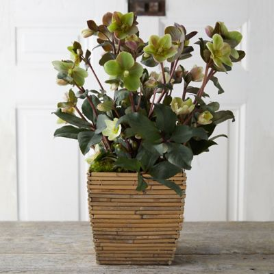 Hellebore, Bamboo Square Pot