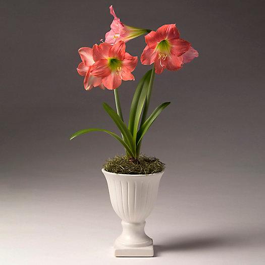 View larger image of 'Belladonna' Amaryllis, Mini Urn Pot