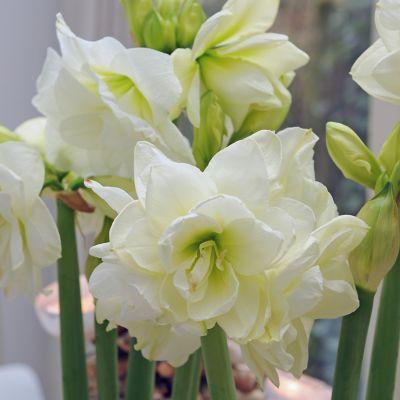 Amaryllis 'Marilyn' Bulb