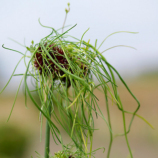 View larger image of Allium 'Hair' Bulbs