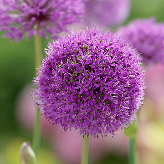 View larger image of Allium 'Ostara' Bulbs