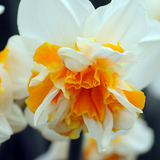 View larger image of Narcissus 'Flower Drift' Bulbs