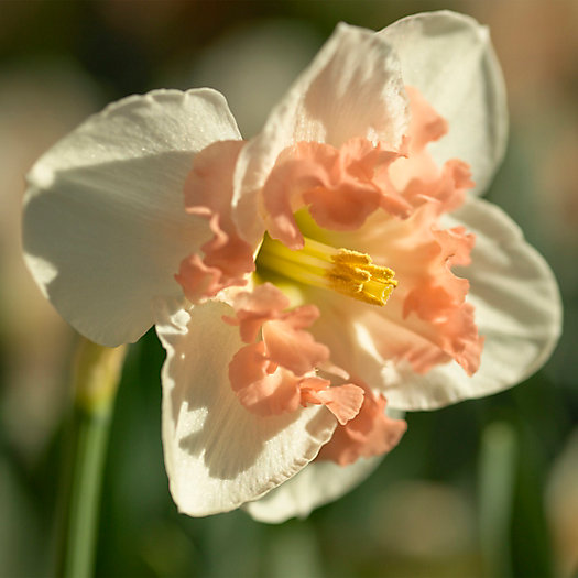 View larger image of Narcissus 'Shrike' Bulbs