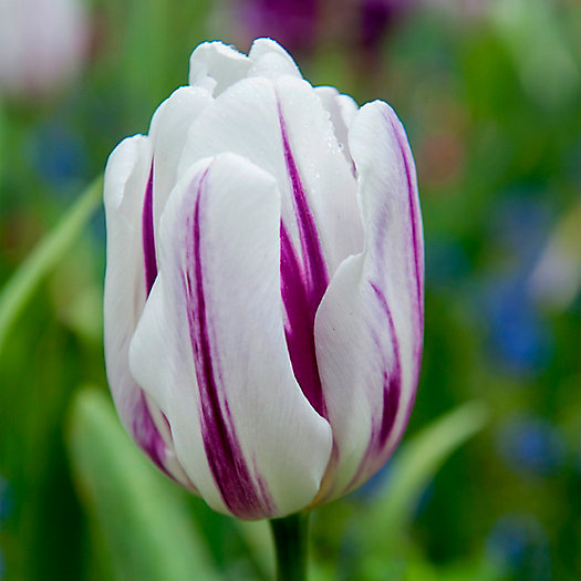 View larger image of Tulip 'Flaming Flag' Bulbs
