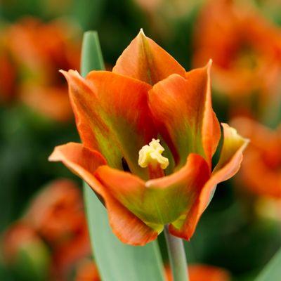 Tulip 'Artist' Bulbs