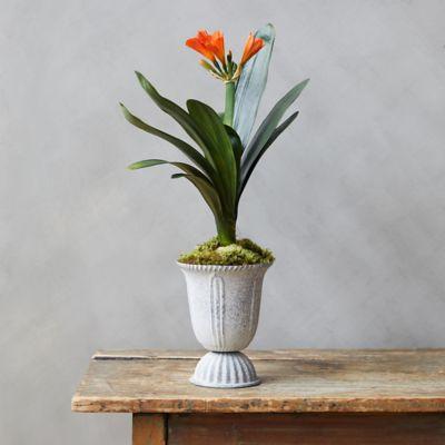 Clivia Plant, Tall Metal Urn