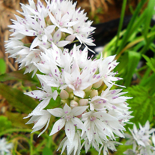 View larger image of Allium 'Graceful' Bulbs