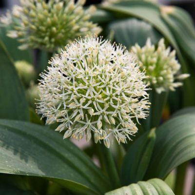 Allium karataviense 'Ivory Queen' Bulbs