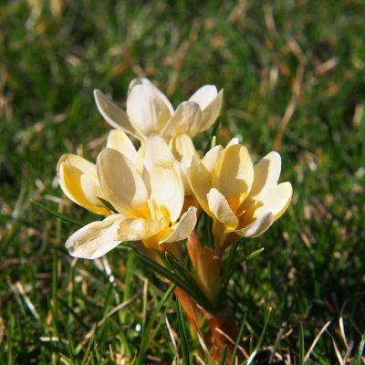 Crocus chrysanthus 'Cream Beauty' Bulbs