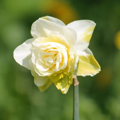 Narcissus 'Obdam' Bulbs