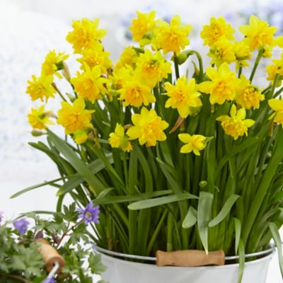 Narcissus 'Tete Boucle' Bulbs
