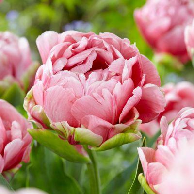 Tulip 'Wedding Gift' Bulbs