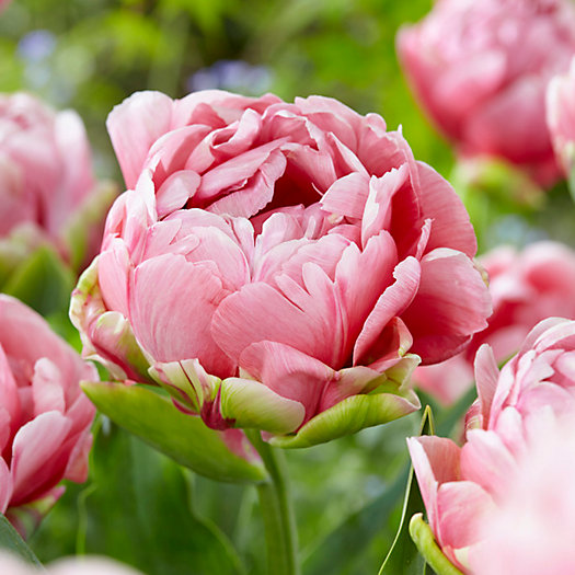 View larger image of Tulip 'Wedding Gift' Bulbs