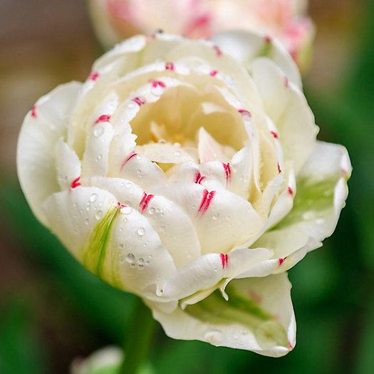 View larger image of Tulip 'Danceline' Bulbs