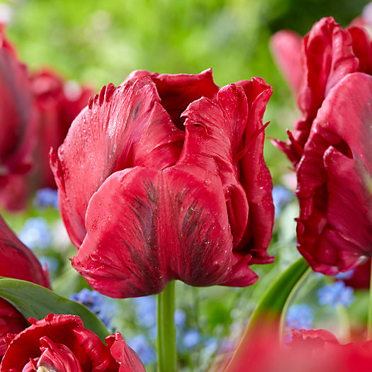 View larger image of Tulip 'Red Madonna' Bulbs