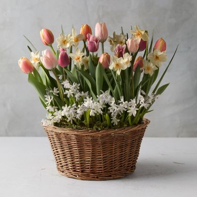 Tulip + Daffodil Bulbs, Wicker Basket