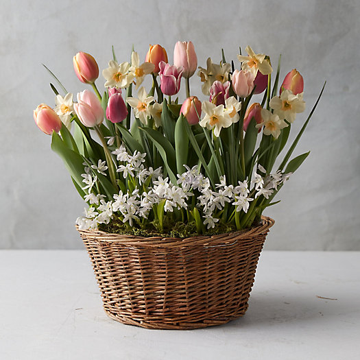View larger image of Tulip + Daffodil Bulbs, Wicker Basket