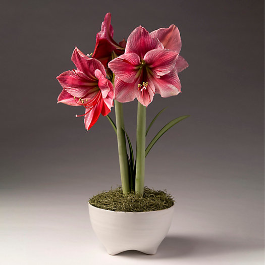 View larger image of 'Gervase' Amaryllis, Matte Bowl Pot