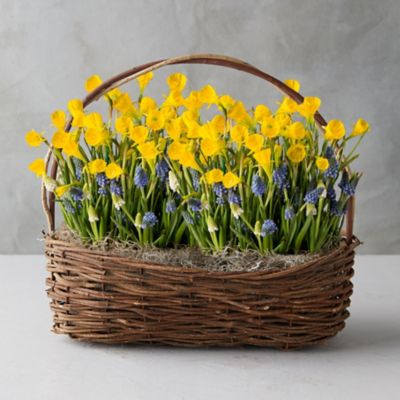 Daffodil + Muscari Bulbs, Willow Basket