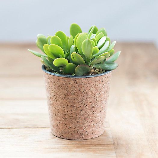View larger image of Jade Plant, Cork Pot
