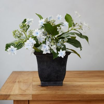 Shooting Star Hydrangea, Square Black Pot