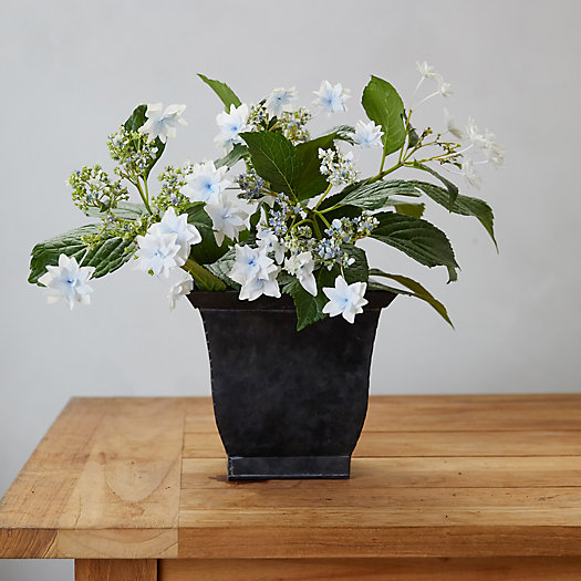 View larger image of Shooting Star Hydrangea, Square Black Pot