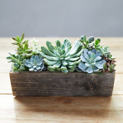 Succulent Garden, Wood Trough