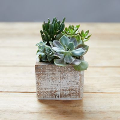 Succulent Garden, Square Wood Pot