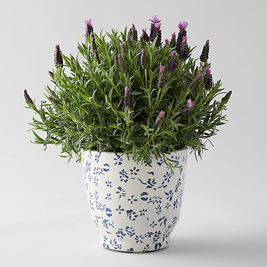 View larger image of Blue Vine Pot