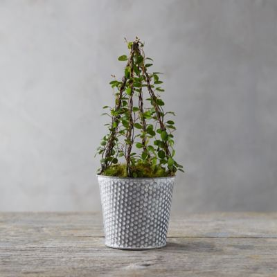 Angel Vine Cone Topiary, Dotted Pot