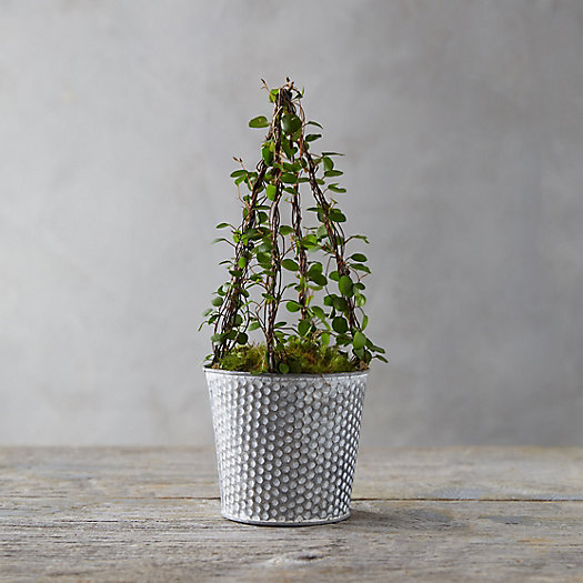View larger image of Angel Vine Cone Topiary, Dotted Pot