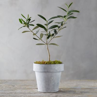 Olive Tree, White Pot