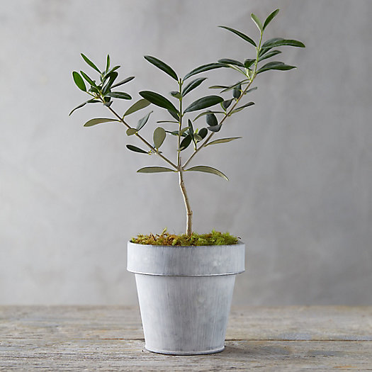 View larger image of Olive Tree, White Pot