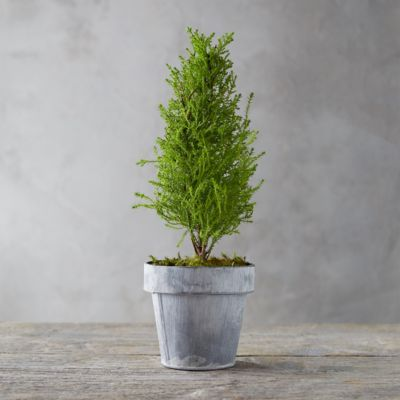 Lemon Cypress Topiary, White Pot