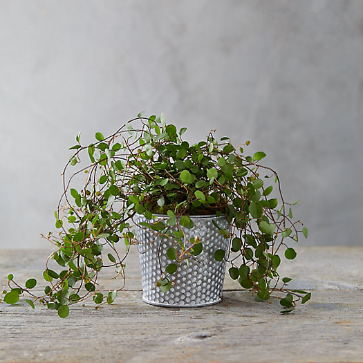 View larger image of Angel Vine, Small Dot Pot