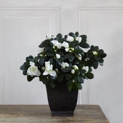 White Azaleas, Square Black Pot