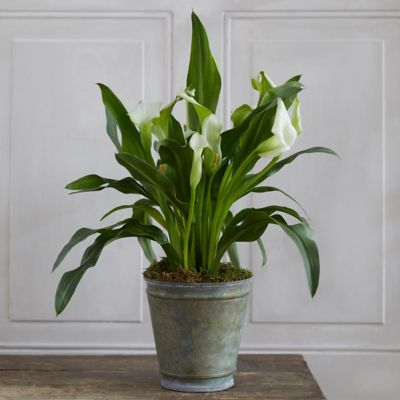 Calla Lily, Green Metal Pot