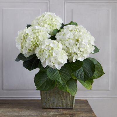White Robe Hydrangea