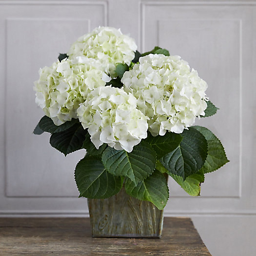 View larger image of White Robe Hydrangea