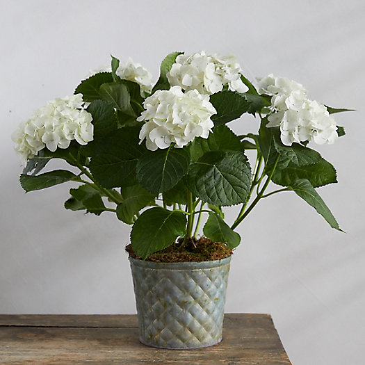 View larger image of White Hydrangea, Waffle Pot