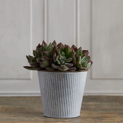 Devotion Echeveria, Ribbed Metal Pot