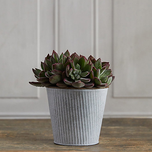 View larger image of Devotion Echeveria, Ribbed Metal Pot