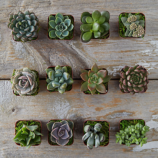 Succulent Collection, Set Of 12 by Terrain