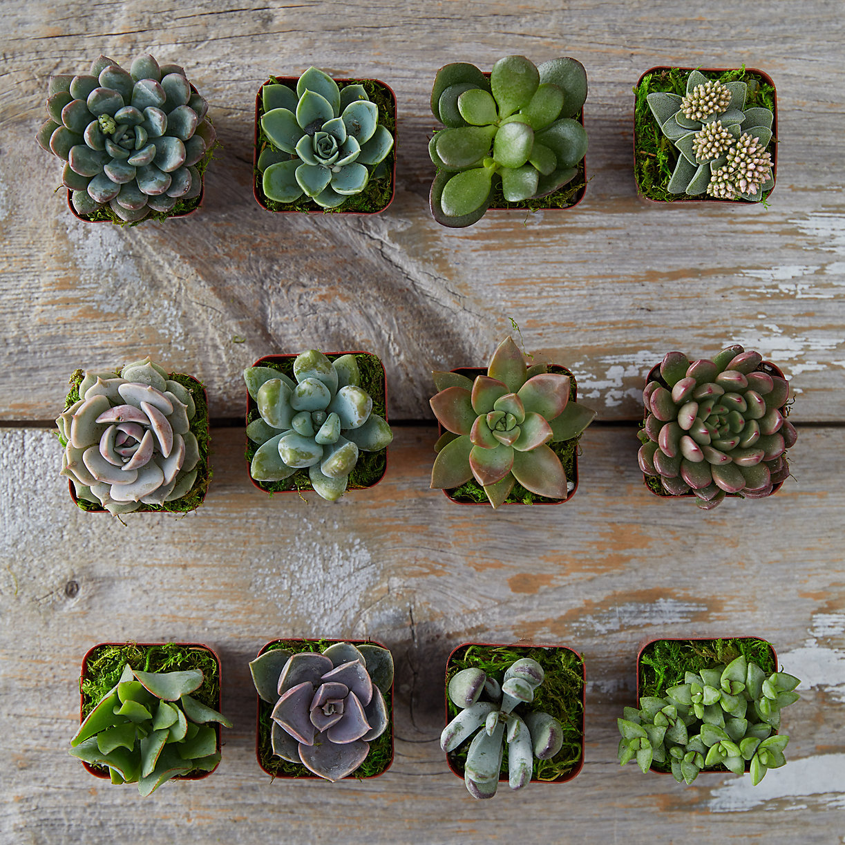 Succulent Collection, Set of 12