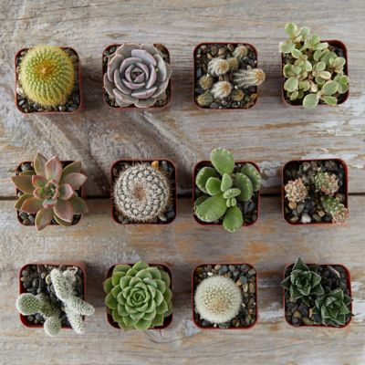 Succulent + Cactus Collection, Set of 12