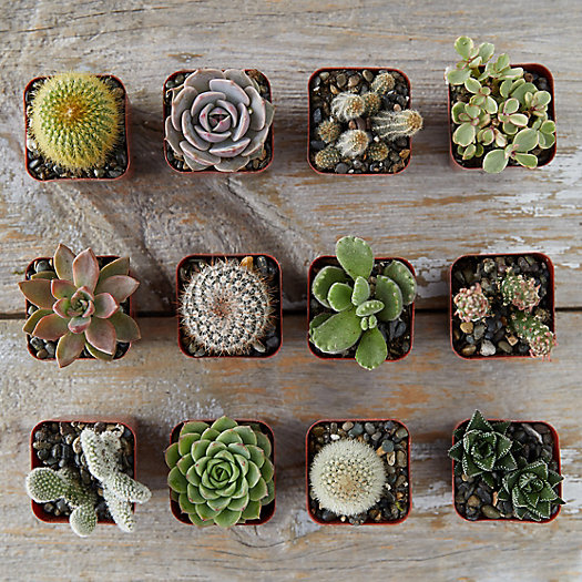 View larger image of Succulent + Cactus Collection, Set of 12