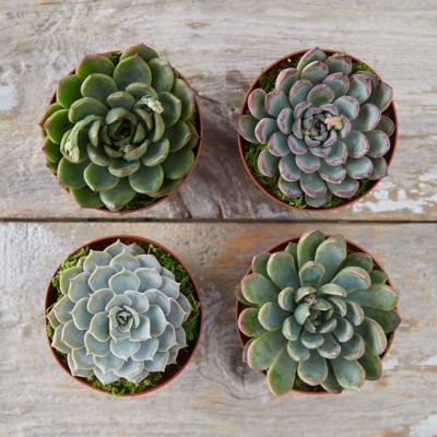 Rosette Succulent Collection, Set of 4